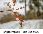 Close Up Of Snow On Leaves In...