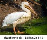 Spot Billed Pelican  A Large...