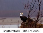 Small photo of Adult bald eagle turns head with rapt attention on windy day along Chilkat River in Haines, Alaska