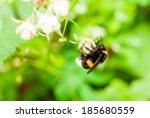 Shaggy Bumblebee Sitting On A...