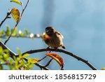 A Fluffy Chubby Young Sparrow...