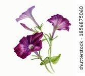 Flower Petunia Watercolor On...