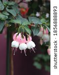 Pink And White Fuchsia Flowers...