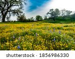 Brilliant Meadow Of Lupine And...