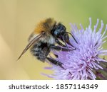 A Common Carder Bee  Bombus...