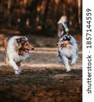 Two Dogs  Collie  Are Playing...