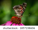 An American Lady Butterfly ...