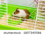 Colored Guinea Pig In A Green...