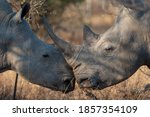 2 White Rhino Facing Each Other ...