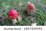 2 Fly Agarics At Fall Time