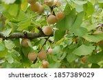 Ginkgo Biloba Leaves  Fruits ...