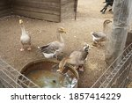 Geese In The Zoo Eat Food And...