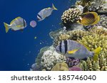 Small photo of underwater image of tropical fishes (doublebar bream - acanthopagrus bifasciatus)