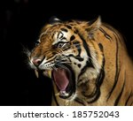 sumatran tiger roaring  | Shutterstock . vector #185752043