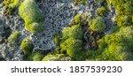 Horizontal Image Of Green Moss...