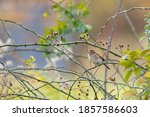 Field Sparrow In A Bush With...