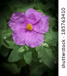 soft hairy rockrose cistus...   Shutterstock . vector #185763410
