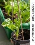 Green Lettuce Leaves Grow In...