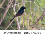 A Black Drongo Perched On The...