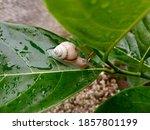 Focus On The Tree Snail  ...