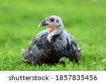 Turkey Bird On Green Grass