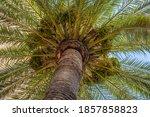 Date Palm  Phoenix Dactylifera  ...