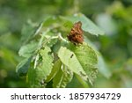 Comma Butterfly In The Wild On...