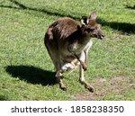 The Western Grey Kangaroo Is...