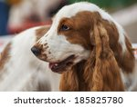 russian spaniel find brown in... | Shutterstock . vector #185825780