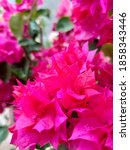 Red Bougainvillea Flowers...