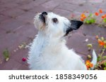 Small White Terrier Dog Looking ...