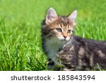 Stock photo the fluffy beautiful kitten plays in a green grass 185843594