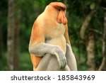 Proboscis Monkey Sitting On A...