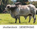 Portrait Of A Zebu Grey Bull