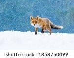 Fox In Winter. Red Fox  Vulpes...