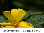 A Yellow Buttercup Flower And...