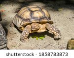 The African Spurred Tortoise ...