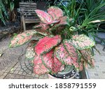 Aglaonema  Also Called  Chinese ...