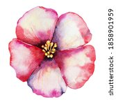 Anemone Flower  Red Bud. Hand...