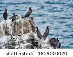 Bird Colony Of Guano Cormorant...