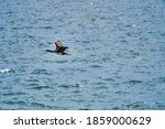 Guano Cormorant In Flight At...