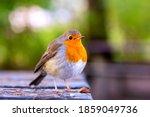 European robin or erithacus...