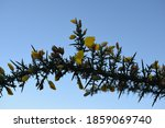 Yellow Flowers On Gorse Plant...