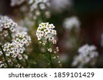 Dainty Sweet Alyssum Flower...