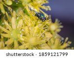 European Green Blowfly  Lucilia ...