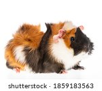 Cute Little Guinea Pig Isolated ...