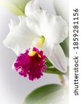 White Large Orchid Flower With...