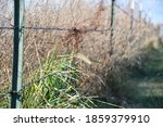 Wild Grass In A Fence Row