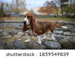 Dog Of The Basset Hound Breed...