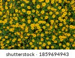Creeping Zinnia Flowerbed With...